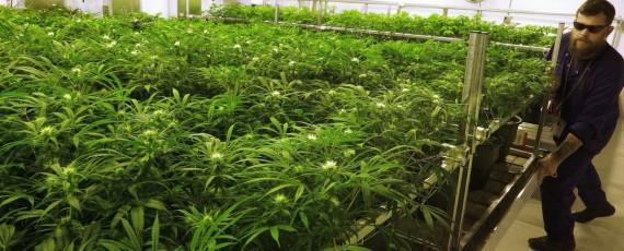 Marijuana cultivation school