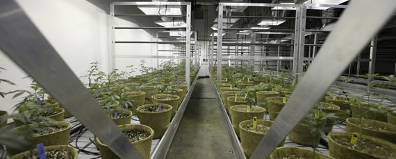 Cannabis cultivation permits