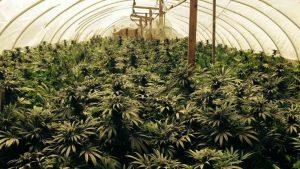 Marijuana Growing