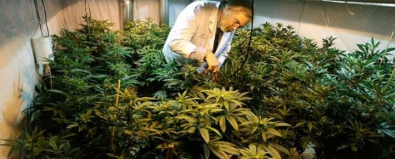 Marijuana cultivation