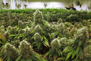 Marijuana business permits