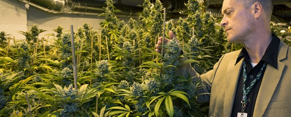 Marijuana cultivation business applications